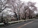 SampoSakura20120407-125243.JPG