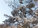SampoEnzanSakura 20190331-163530.JPG